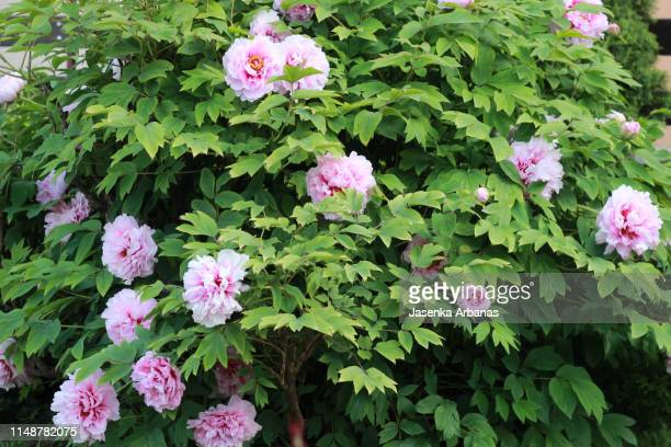Tree Peony Stock Pictures Royalty Free Photos Images Getty Images