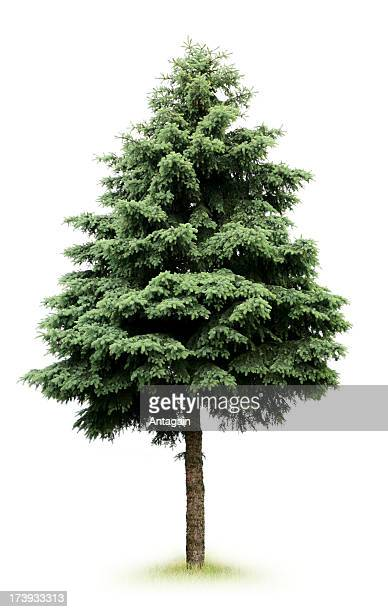 tree - spruce tree stock pictures, royalty-free photos & images