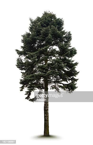 albero - conifera foto e immagini stock