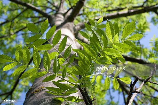 tree - ash stock pictures, royalty-free photos & images