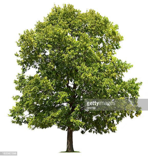 tree - elm tree stock pictures, royalty-free photos & images