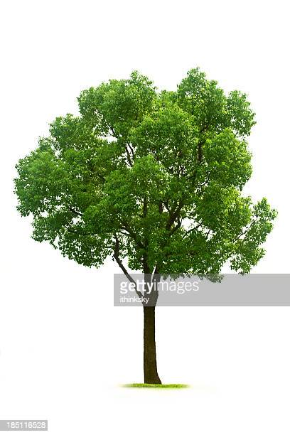 tree - deciduous tree stock pictures, royalty-free photos & images