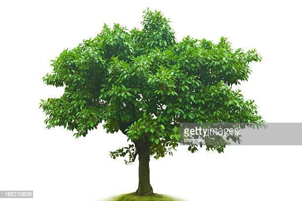 árvore - árvore - fotografias e filmes do acervo