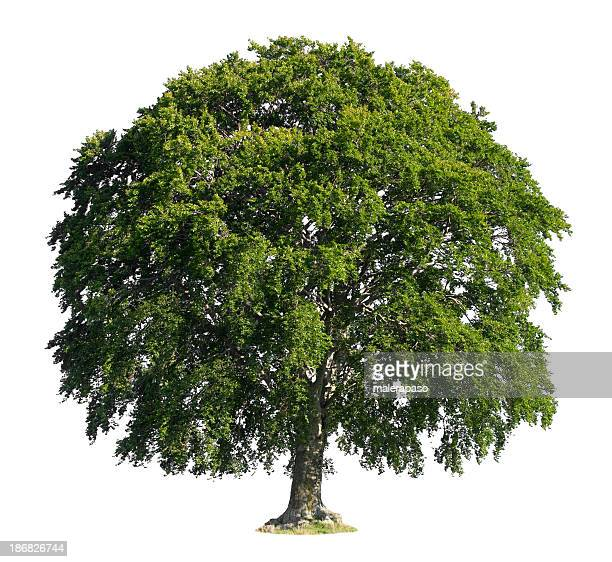 tree - beech tree stock pictures, royalty-free photos & images