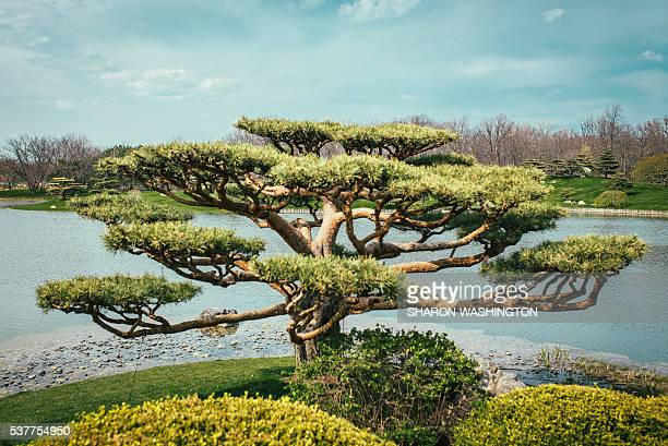 tree - japanese garden stock photos and pictures