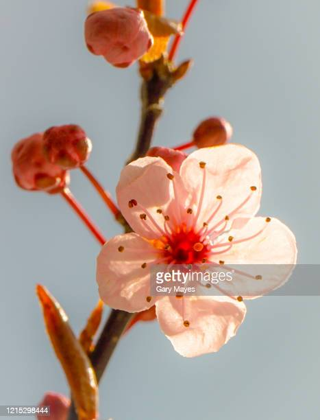 tree pink flower blossom - cherry blossom stock pictures, royalty-free photos & images