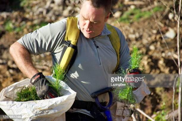 tree planter planting pine radiata seedlings - biodiversity stock pictures, royalty-free photos & images