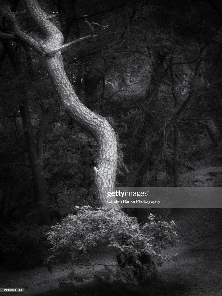 Tree portrait, Baltic Sea coast : Stock-Foto