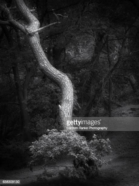 Tree portrait, Baltic Sea coast