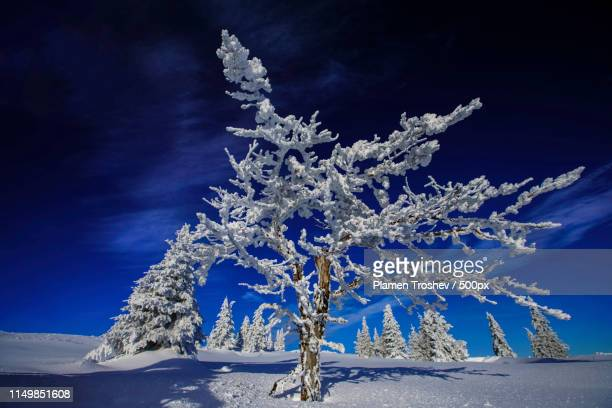 tree portraite - 深い雪 ストックフォトと画像