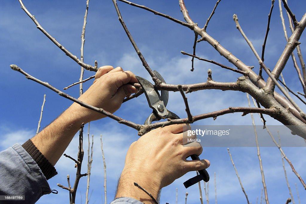 Tree pruning : Stock Photo