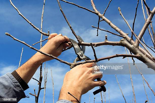 tree pruning - fruit tree stock pictures, royalty-free photos & images