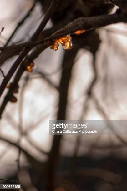 Tree resin of a winter tree