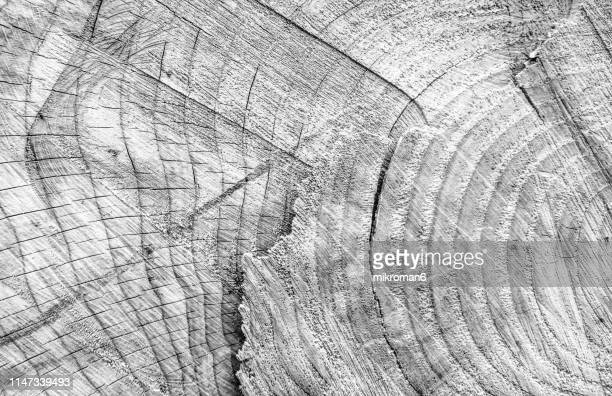 tree rings wood cross-section of a tree. wood texture - black and white nature stock pictures, royalty-free photos & images