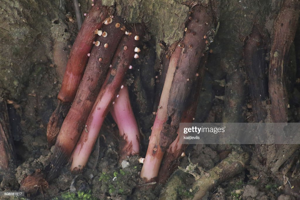 Tree root and many mold : Stock Photo