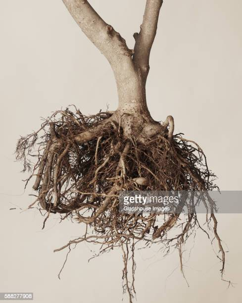 tree roots against white background - 根 ストックフォトと画像