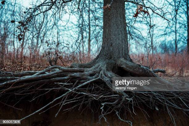 tree roots along the shore of lake monroe in deep winter - bloomington indiana stock photos and pictures