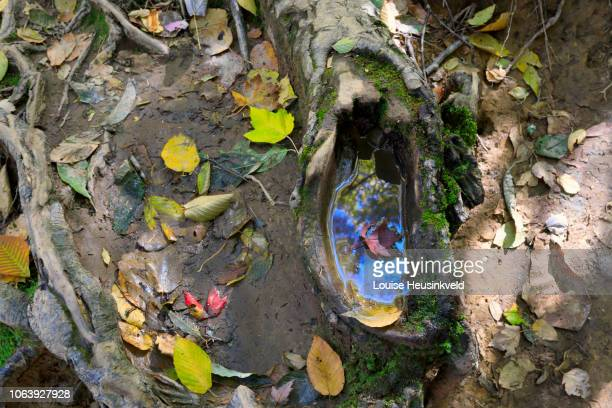 tree roots and fallen leaves on the forest floor, trillium gap trail, smoky mountains national park - roaring fork motor nature trail stock pictures, royalty-free photos & images