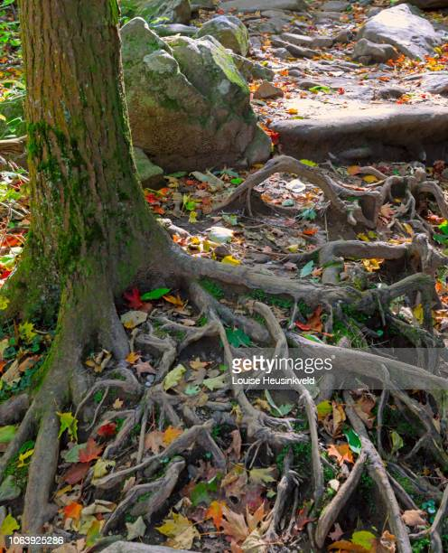 tree roots and fallen leaves on trillium gap trail, smoky mountains national park - roaring fork motor nature trail stock pictures, royalty-free photos & images