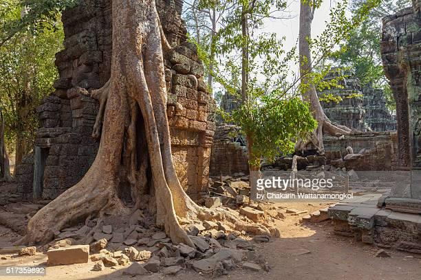 tree roots covered ta prohm ancient temple. - ruina antigua fotografías e imágenes de stock