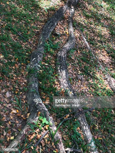 tree roots on ground. - monkey pox stock photos and pictures