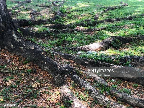 tree roots on ground. - monkey pox stock pictures, royalty-free photos & images