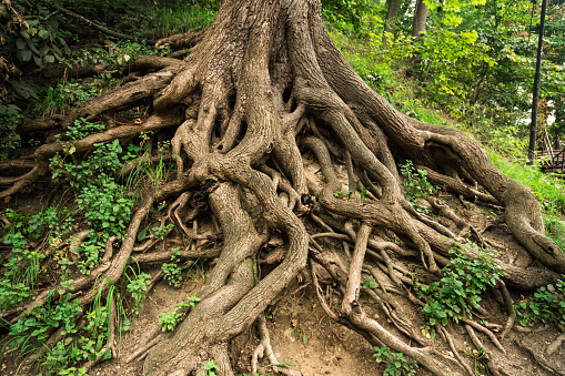 Tree roots 1029018204
