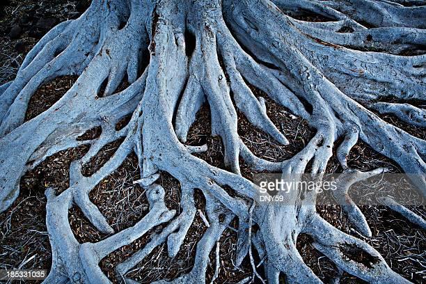 Raízes de Árvore