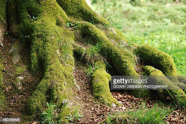 tree roots - kildare stock photos and pictures