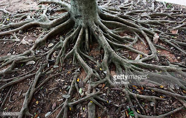 tree roots - human artery stock photos and pictures