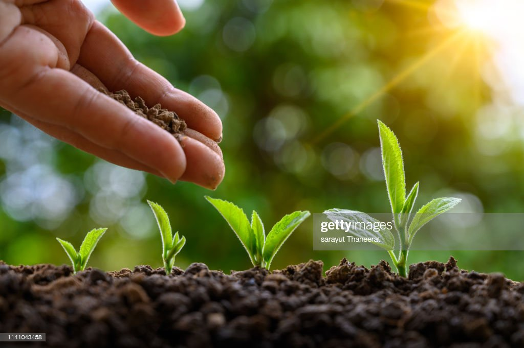 tree sapling hand planting sprout in soil with sunset close up male hand planting young tree over green background : Stock Photo