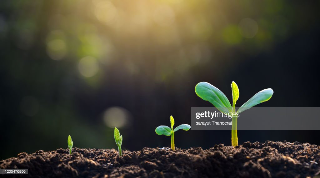 tree sapling hand planting sprout in soil with sunset close up male hand planting young tree over green background : Stock-Foto