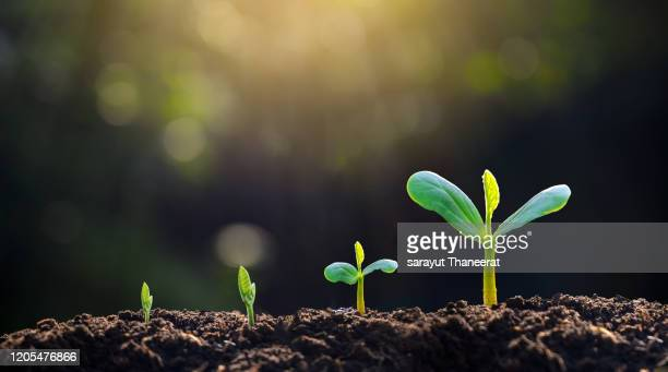 tree sapling hand planting sprout in soil with sunset close up male hand planting young tree over green background - bocciolo foto e immagini stock