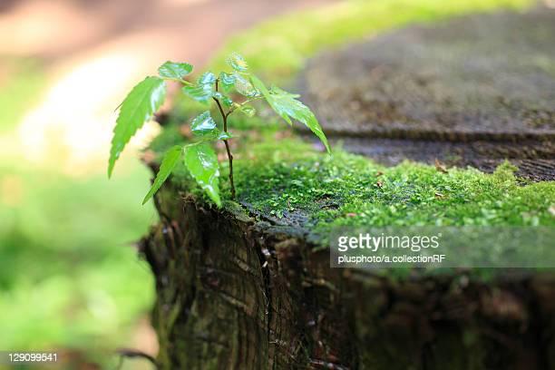 Tree Seedling Growing in Tree Stump