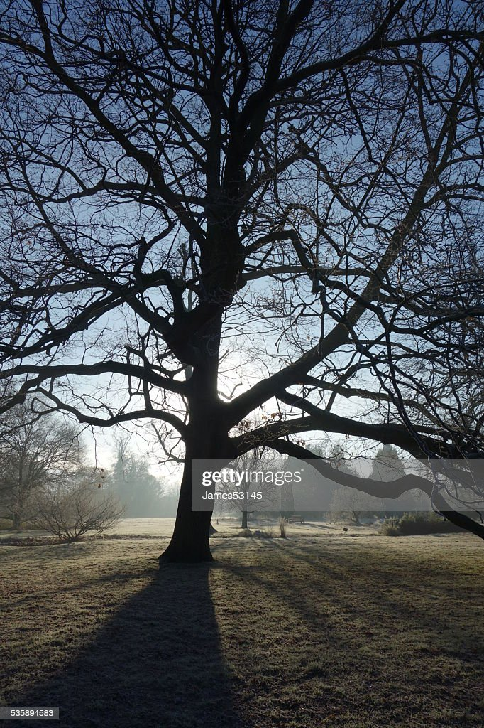 Tree Silhouette on Frosty Morning : Stock Photo