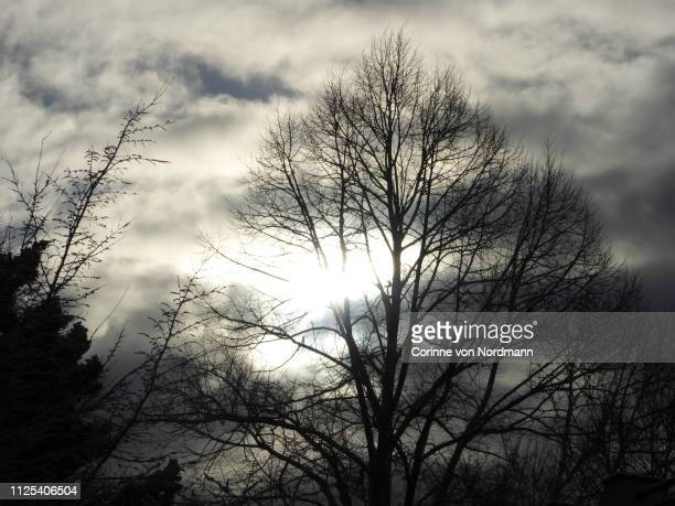 tree silhouettes in the winter sun - corinne paradis photos et images de collection