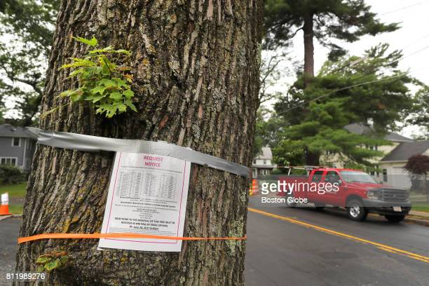 A tree slated to be cut down in front of 1464 Beacon Street in Newton MA is pictured on Jun 30 2017 Newtons public works department wants to cut down...