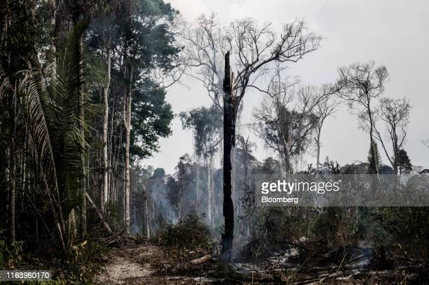A tree smolders during a fire in the Amazon rainforest near Porto Velho Rondonia state Brazil on Sunday Aug 25 2019 The world's largest rainforest...