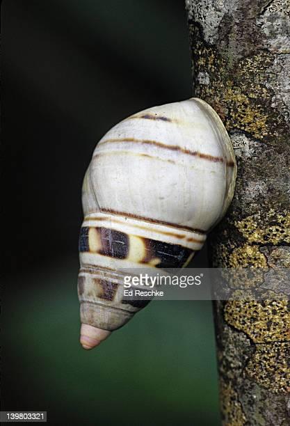 liguus tree snail. rare tree snail, 50 varieties. hardwood hammock. protected.  everglades national park, florida. - ed reschke photography stock photos and pictures
