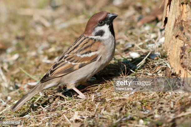 tree sparrow (passer montanus), foraging, untergroeningen, baden-wuerttemberg, germany - vista lateral stock pictures, royalty-free photos & images
