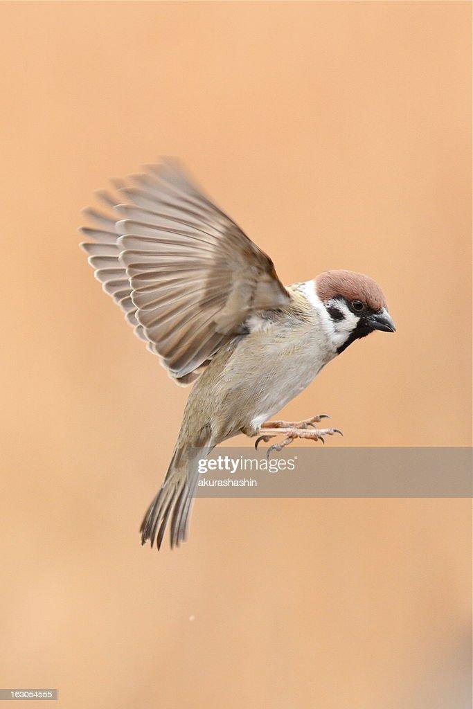 Tree Sparrow in flight : Stock-Foto
