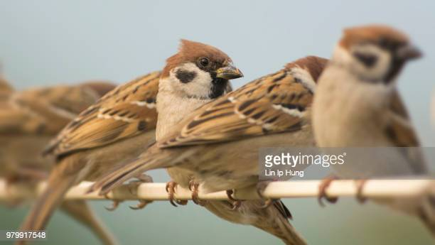 tree sparrow - songbird stock pictures, royalty-free photos & images