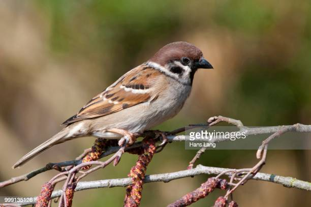 tree sparrow (passer montanus), untergroeningen, baden-wuerttemberg, germany - vista lateral stock pictures, royalty-free photos & images