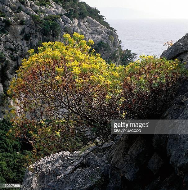 Tree spurge Cala Fuili National Park of the Bay of Orosei and Gennargentu Sardinia Italy