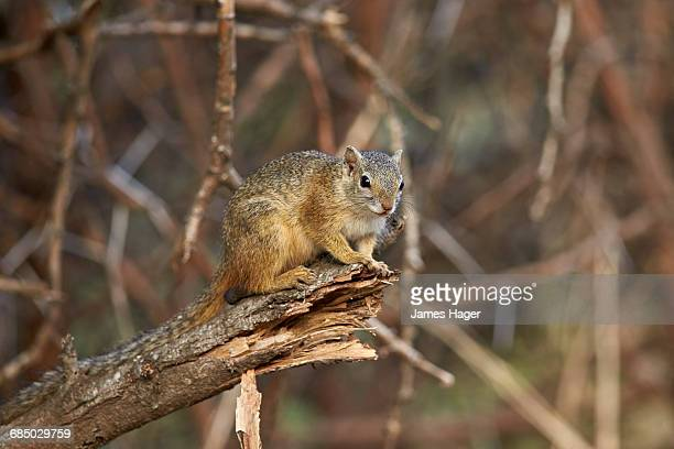 tree squirrel (smiths bush squirrel) (yellow-footed squirrel) (paraxerus cepapi), kruger national park, south africa, africa - tree squirrel stock photos and pictures