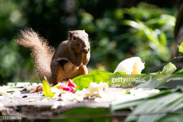 tree squirrel - ghiro foto e immagini stock