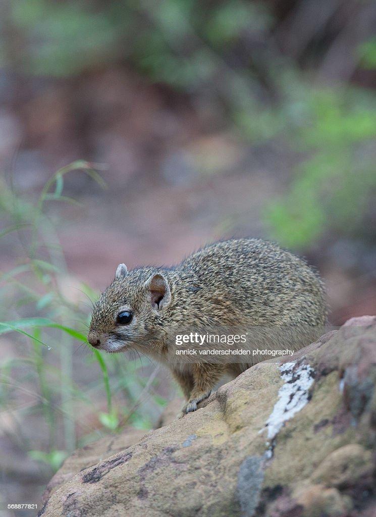 Tree squirrel : Stock Photo