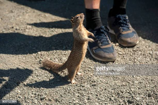 tree squirrel - eastern gray squirrel stock photos and pictures