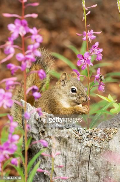 Tree Squirrel, Red Squirrel, Alaska