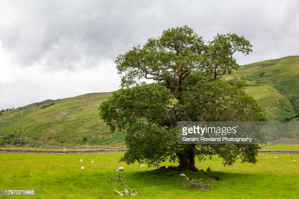 tree  stock photography - geraint rowland stock pictures, royalty-free photos & images